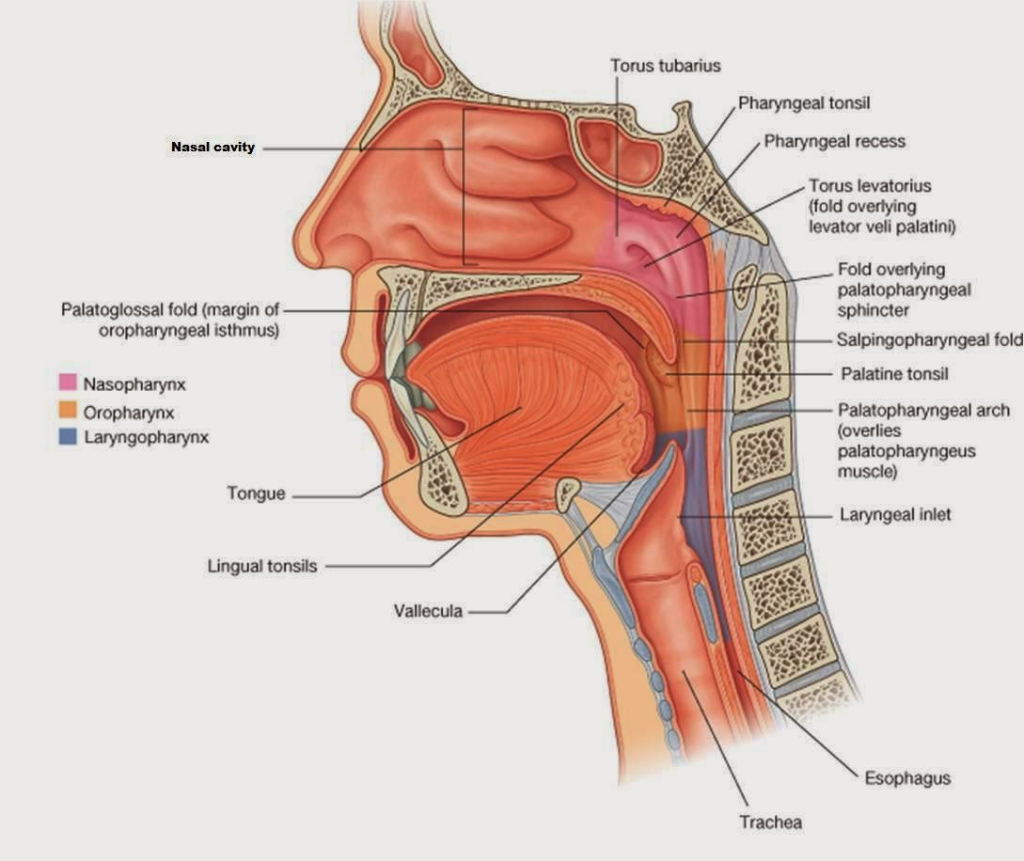 Solved Are The Lingual Tonsils Located In Both The Laryng
