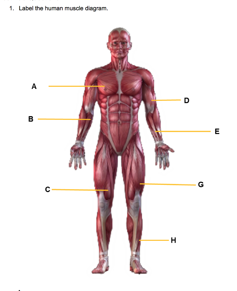 Solved 1 Label The Human Muscle Diagram Chegg
