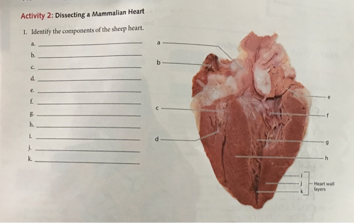 Solved: Activity 2: Dissecting A Mammalian Heart 1. Identi ...