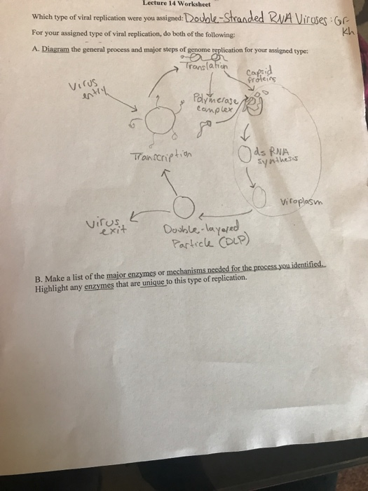Solved: Lecture 14 Worksheet Which Type Of Viral Replicati ...