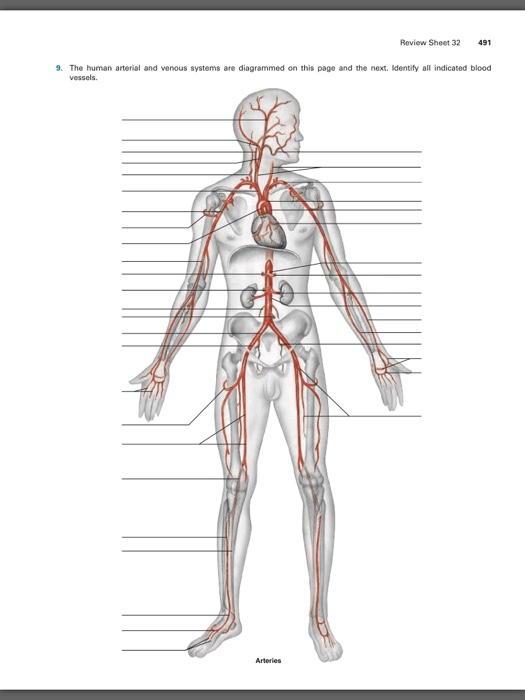 Solved: The Human Arterial And Venous Systems Are Diagramm ...