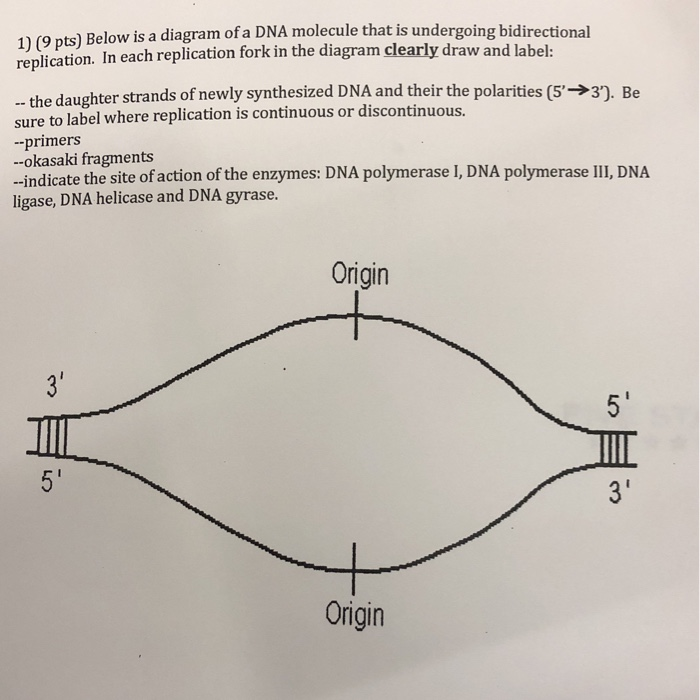 Solved Below Is A Diagram Of A Dna Molecule That Is Under Chegg Com