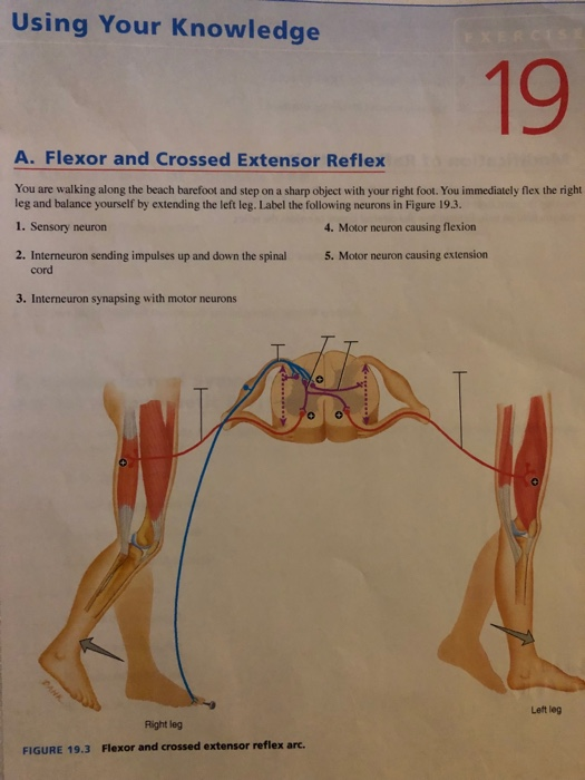 Solved Using Your Knowledge 19 A Flexor And Crossed Exte Chegg Com