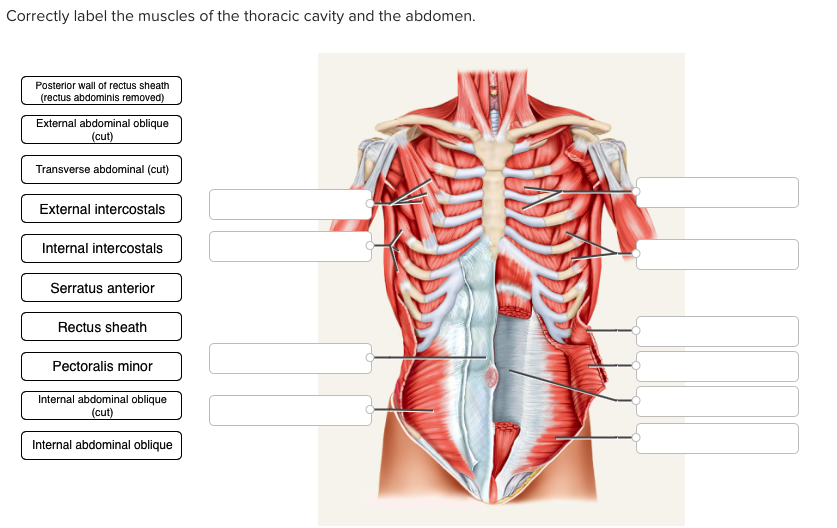 Solved Correctly Label The Muscles Of The Thoracic Cavity