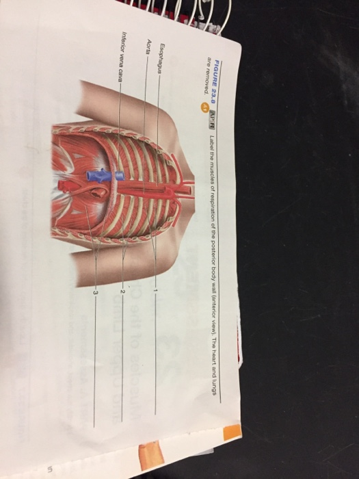 Solved Label The Muscles Of Respiration Of The Posterior