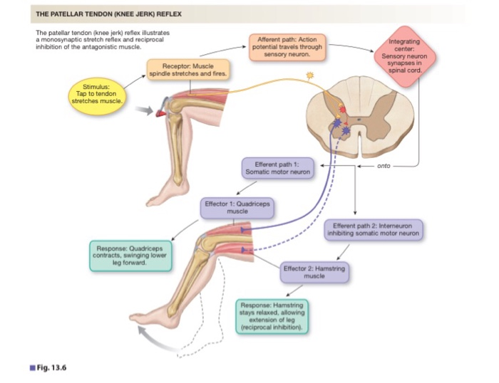 Solved: Label The Components Of A Knee-jerk Reflex Part A ... on knee injuries, knee schematic, knee articular cartilage, medial collateral ligament, knee brace patellar tendon strap, knee cap popped out of place, knee bones, knee arthritis symptoms, medial meniscus, knee and leg tendons, sacroiliac joint, knee pain, posterior cruciate ligament, hinge joint, knee patella, knee drawing, knee exercises, anterior cruciate ligament injury, knee high heels, knee biology, knee osteoarthritis, knee flexion and extension, synovial joint, knee bursa, knee model, knee movements, knee arthroscopy, knee structure, knee outline, anterior cruciate ligament,