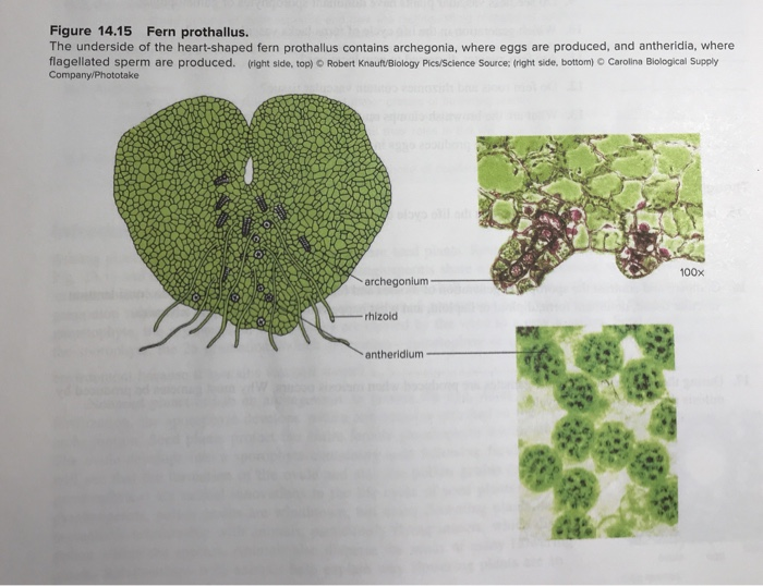 solved figure 14 15 fern prothallus the underside of the