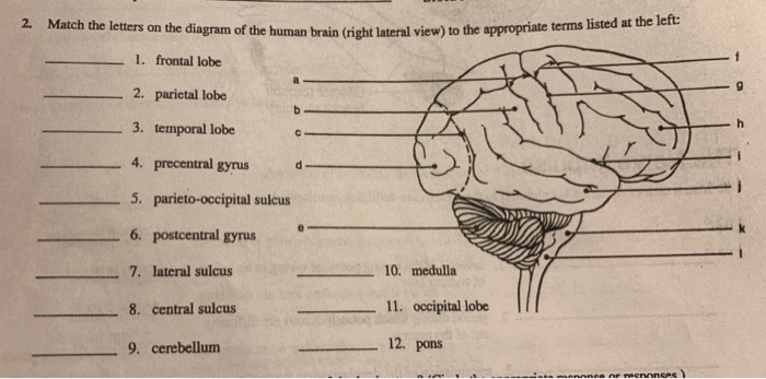 Solved: 2. Match The Letters On The Diagram Of The Human B ...