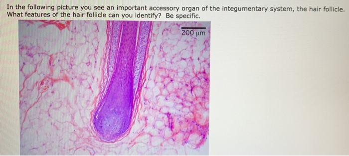 In the following picture you see an important accessory organ of the integumentary system, the hair follicle. What features o