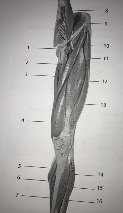 Solved Laboratory 14 Skeletal Muscle Gross Anatomy Anter
