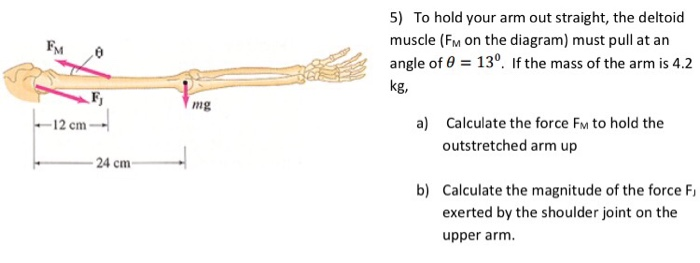 Solved: To Hold Your Arm Out Straight, The Deltoid Muscle ...