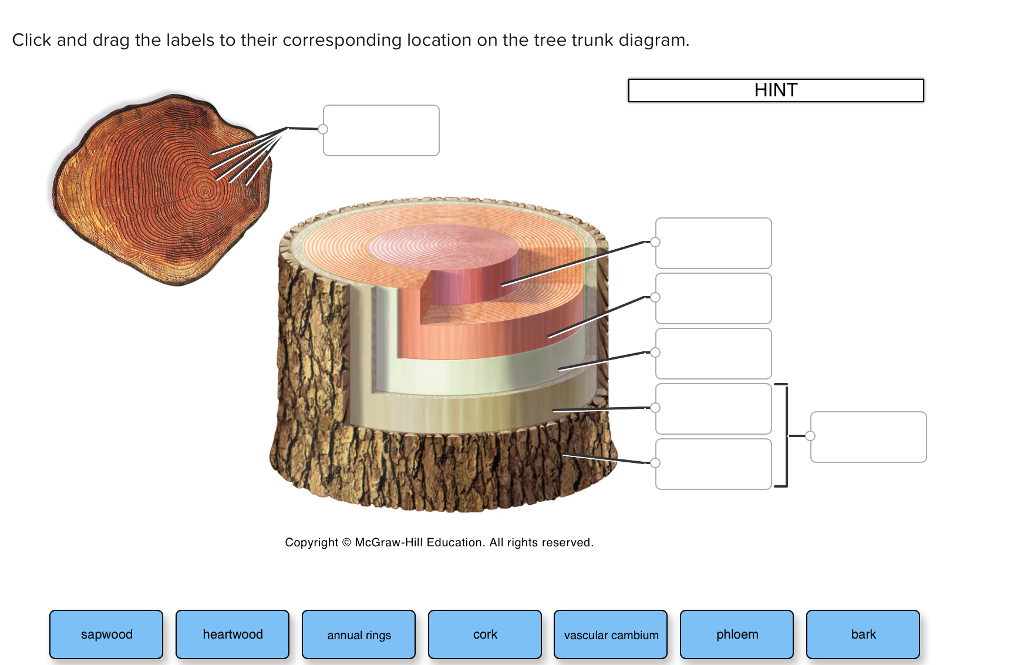 click and drag the labels to their corresponding location on the tree trunk  diagram  hint