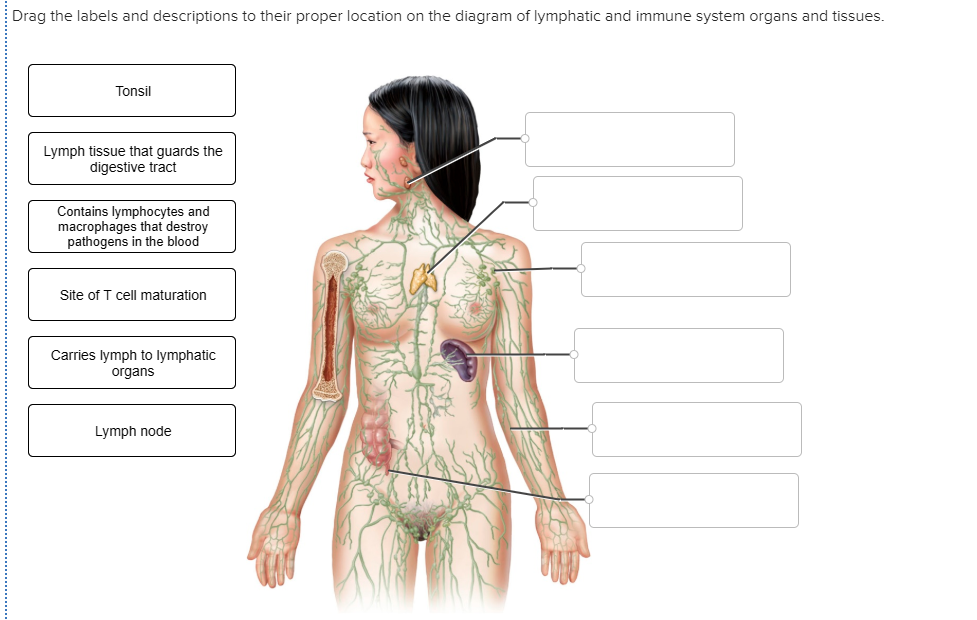 Immune System Diagram.Solved Drag The Labels And Descriptions To Their Proper L