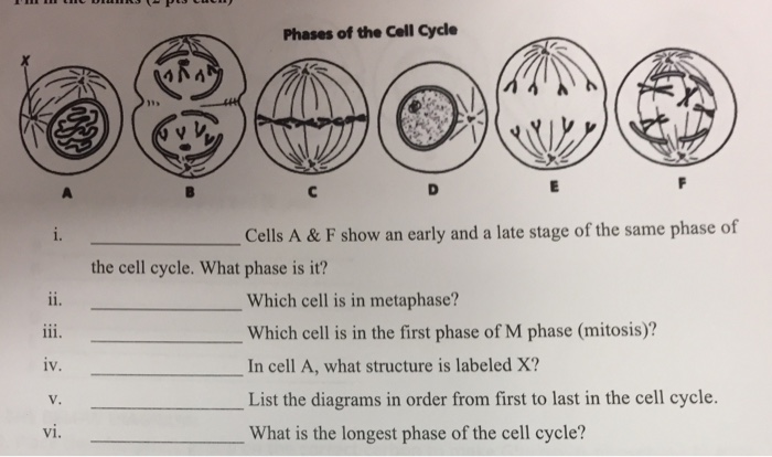 phases of the cell cycle cells a & f show an early and a late stage