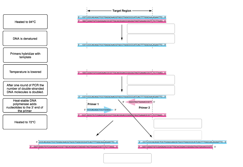 Solved: Target Region Heated To 94°C DNA Is Denatured GGGC