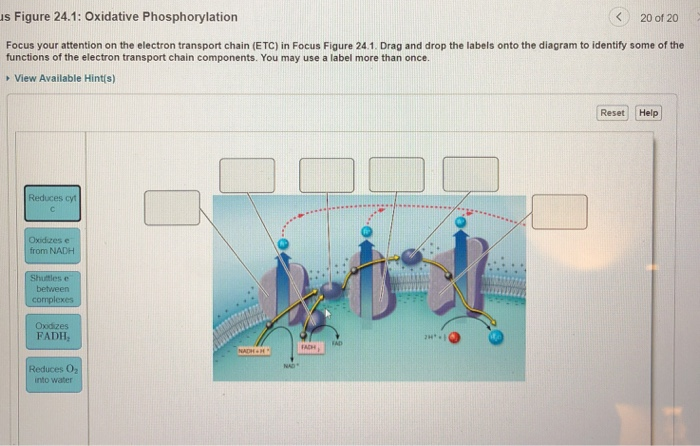 Solved S Figure 241 Oxidative Phosphorylation K20 Of 20