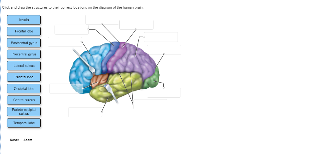 Frontal Lobe Diagram.Solved Click And Drag The Structures To Their Correct Loc
