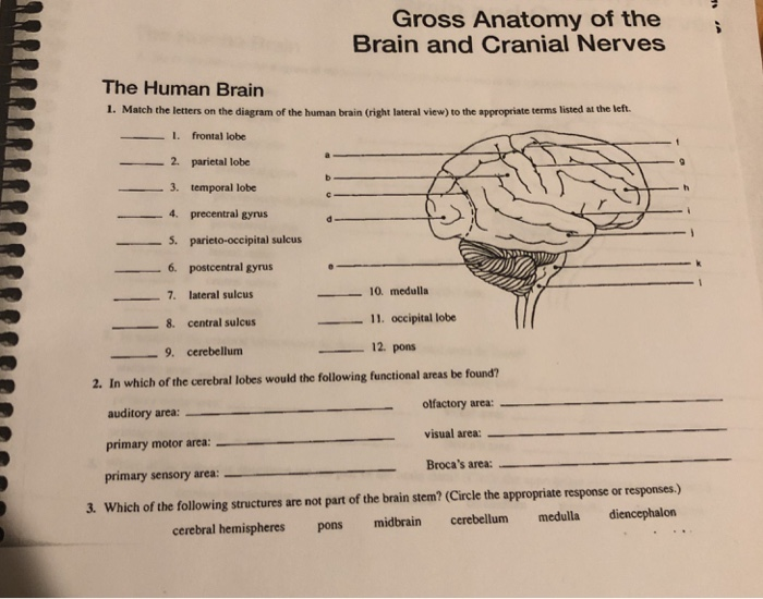 Match The Letters On The Diagram Of The Human Brain ...
