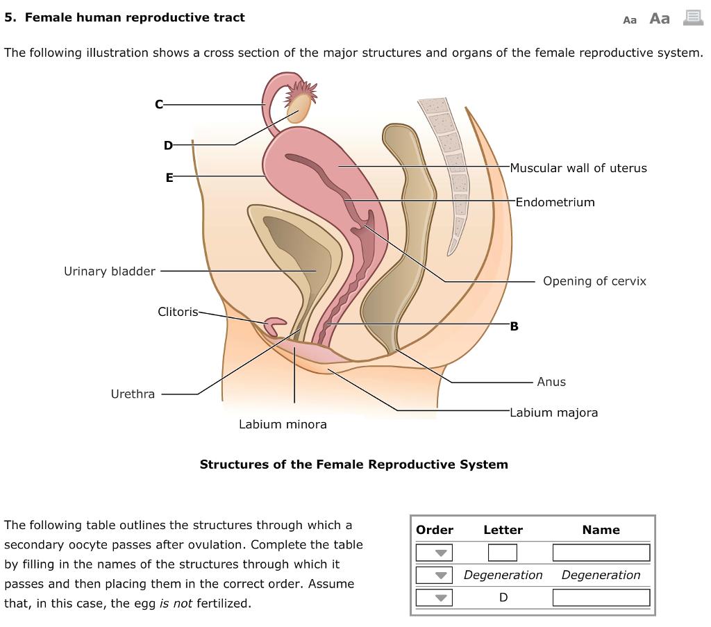 Solved 5 Female Human Reproductive Tract Aa Aa The Follo