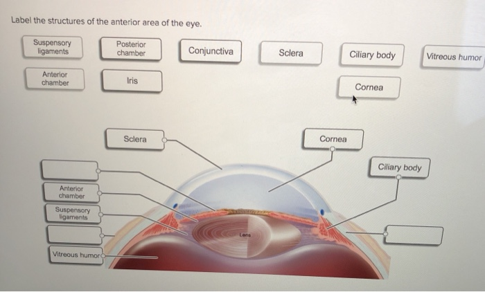 Solved label the structures of the anterior area of the e label the structures of the anterior area of the eye vitreous humor suspensory igaments posterior ccuart Gallery