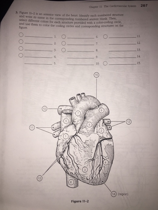 Anatomy And Physiology Coloring Workbook Chapter 11 Cardiovascular ...