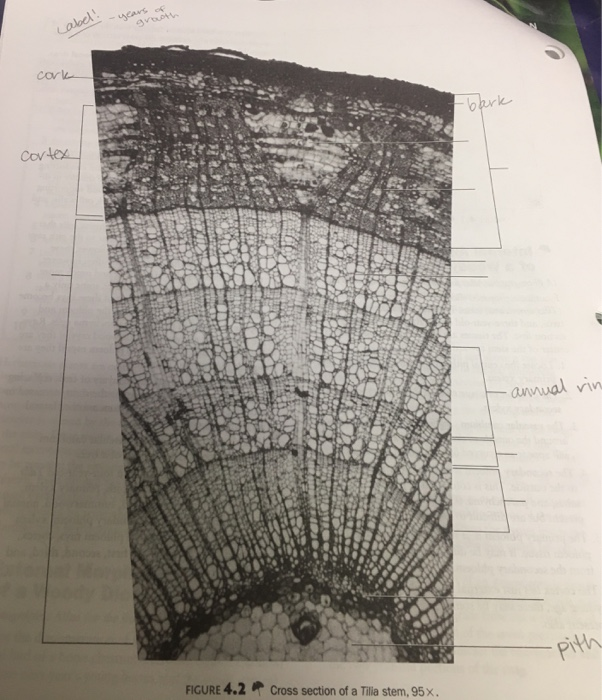 Annwal Th FIGURE 42 Cross Section Of A Tilia Stem 95x
