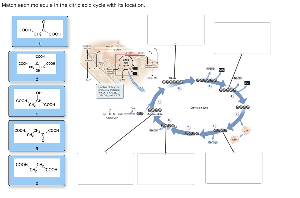 Match each molecule in the citric acid cycle with its location NAD2 FADH OOH OH 30-34 ATP 2 ATP +2 ATP One turn of the cycle produces 2 molecules of CO,. 3 NADH I FADH, and I ATP COOH. CH2COOH Citric acid cycle CoGCGO H,C-C-s- CoA Acetyl CoM NADH CH2 0 ATP COOH CH2