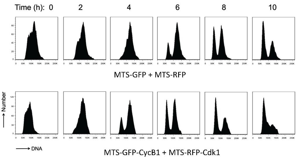 Time (h): 0 2 4 6 8 10 60 5CK K 50K 200K 25oK oK 0K 200K 25050K TOOK 150K 200K 250K 0 100K 50K 200 250K 50K 00K 150K 200K 250K SOK 100 50K 200K 250K MTS-GFPMTS-RFP 0D 120 90 60 00K 250xSOK → DNA MTS-GFP-CycB1 MTS-RFP-Cdk1