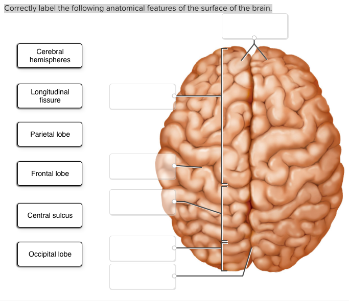 Solved Correctly Label The Following Anatomical Features