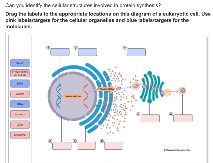 Protein Synthesis Diagram Labels Wiring Circuit