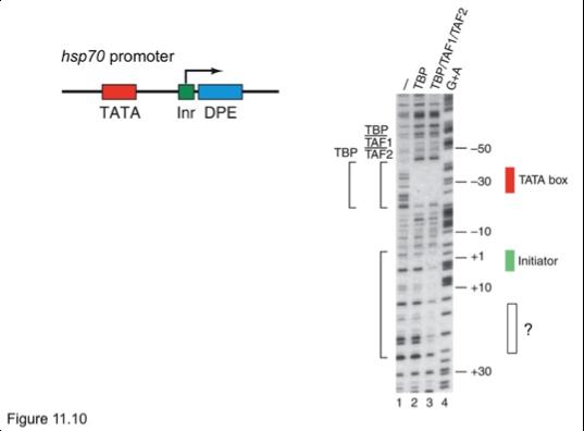 hsp70 promoter TATA nr DPE TBP TAF2 30 TATA box Initiator +10 1 2 3 Figure 11.10
