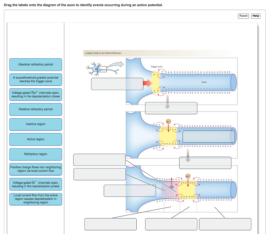 Solved: Drag The Labels Onto The Diagram Of The Axon To Id ...