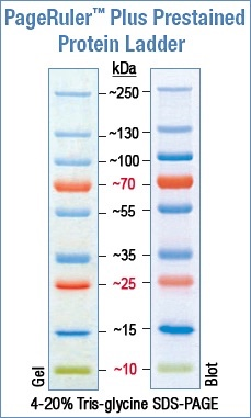 Solved Reading Western Blot Results What S The Kda For