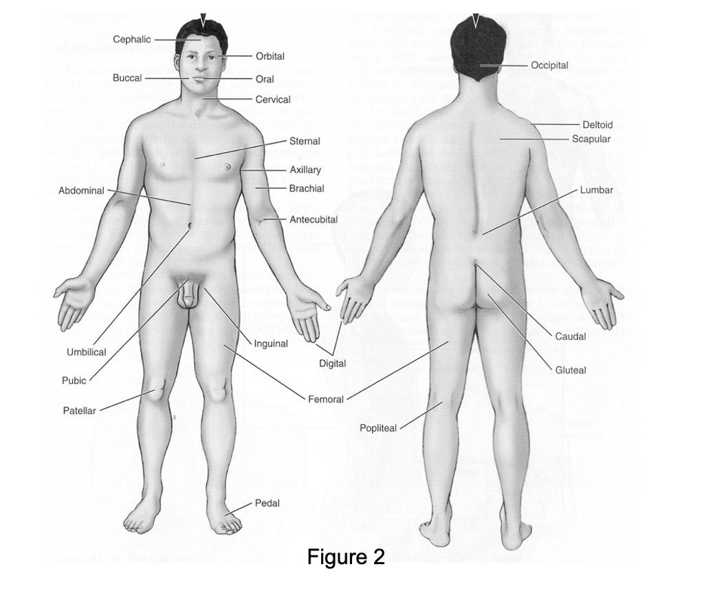 Antecubital
