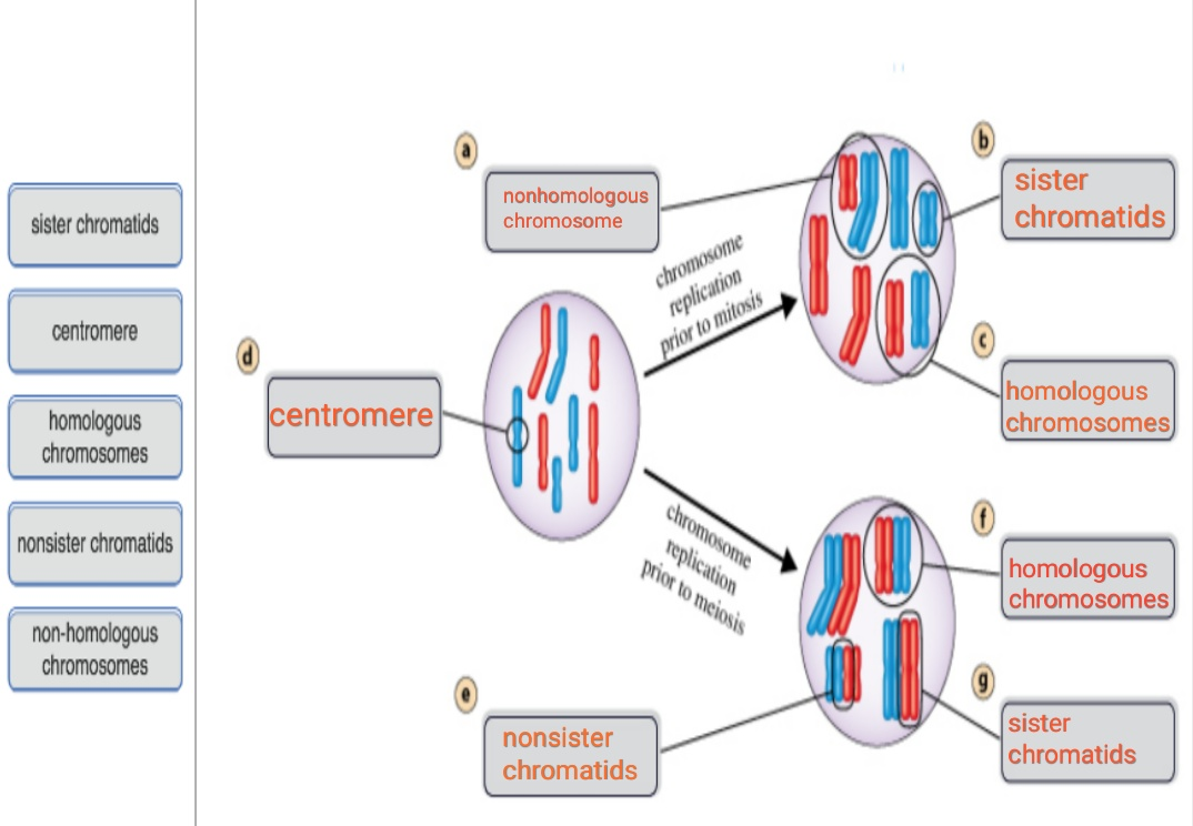 sister chromatids nonhomologous chromosome sister chromatids chromosome replication centromere prior to mitosis centromere ho