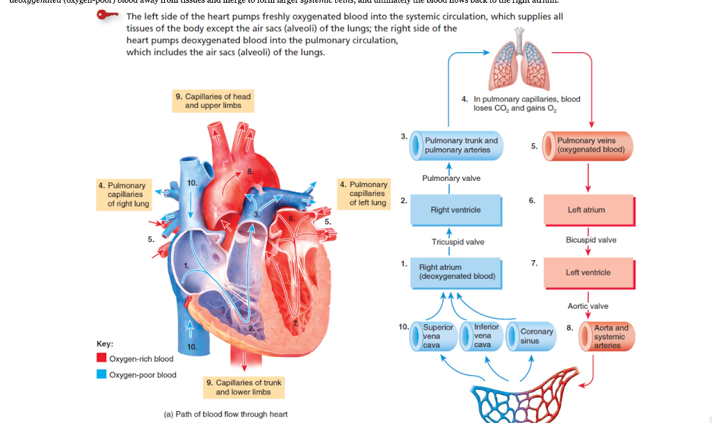 Solved: 1) Write A List Of The Heart Structures (valves An ...