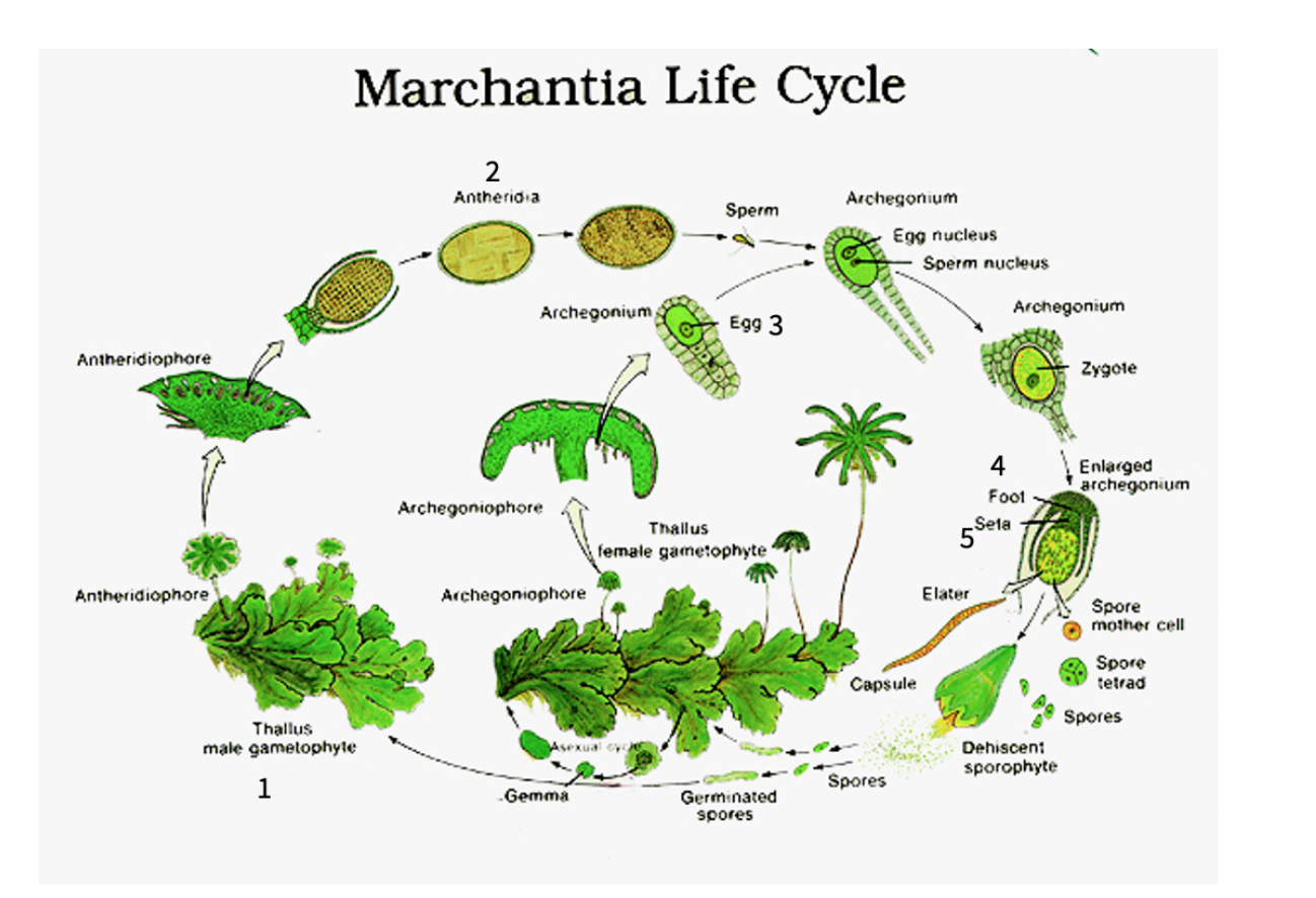QUESTION 2 (20 points) Below is a labelled Marchantia | Chegg.com