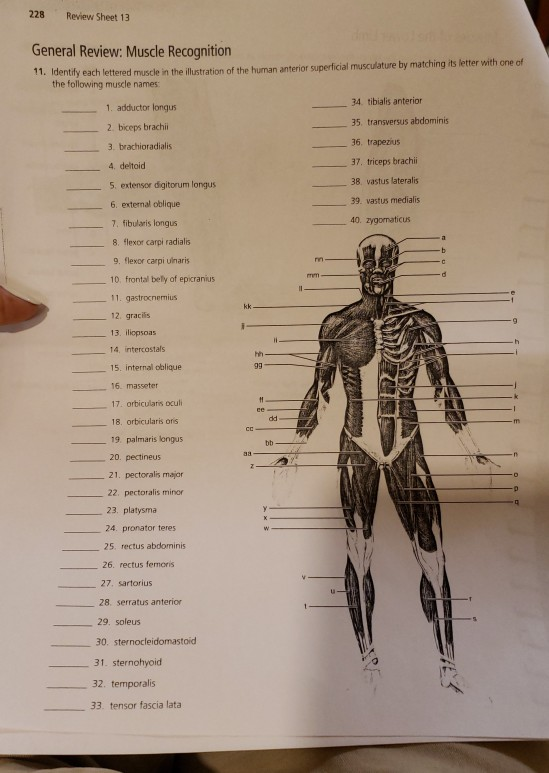 Solved  228 Review Sheet 13 General Review  Muscle Recogni