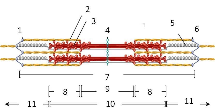 Anatomy I: sarcomere diagrams Flashcards   Chegg.comChegg