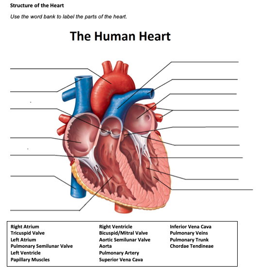 Solved Structure Of The Heart Use The Word Bank To Label Chegg Com