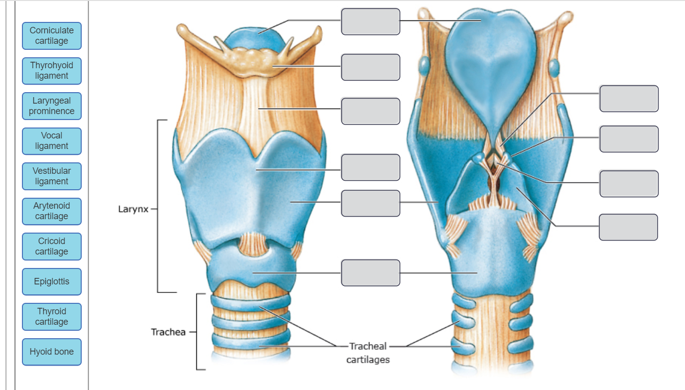 Solved Corniculate Cartilage Thyrohyoid Ligament Laryngea