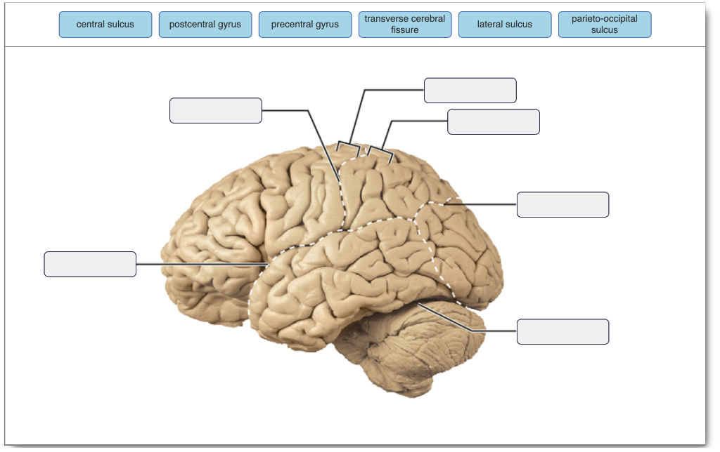 Solved Central Sulcus Postcentral Gyrus Precentral Gyrus Chegg Com Psychology definition of postcentral gyrus: central sulcus postcentral gyrus