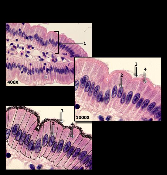 Histology Flashcards Chegg Com