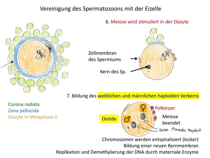 Und meiose frau mann unterschied Unterschied zwischen
