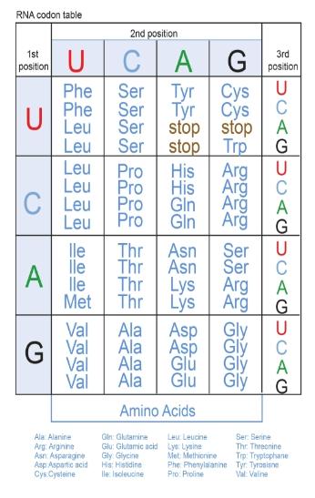 Solved Ucla Rna Codon Table 2nd Position 1st G Chegg Com