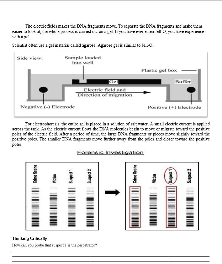 Dna Fingerprinting Worksheet Answers : Dna Fingerprint ...