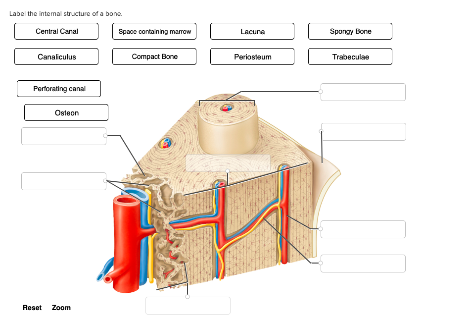 Solved Label The Internal Structure Of A Bone Central Ca Chegg Com
