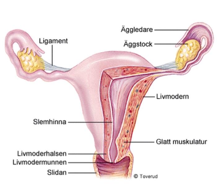 förstorad livmoder orsak
