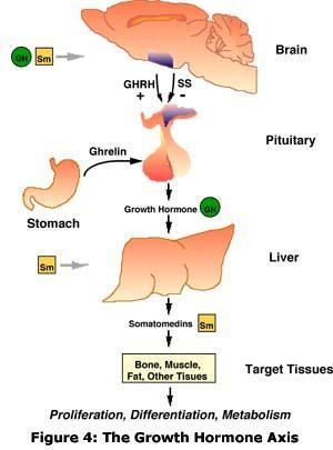 Endocrine System Flashcards | Chegg.com