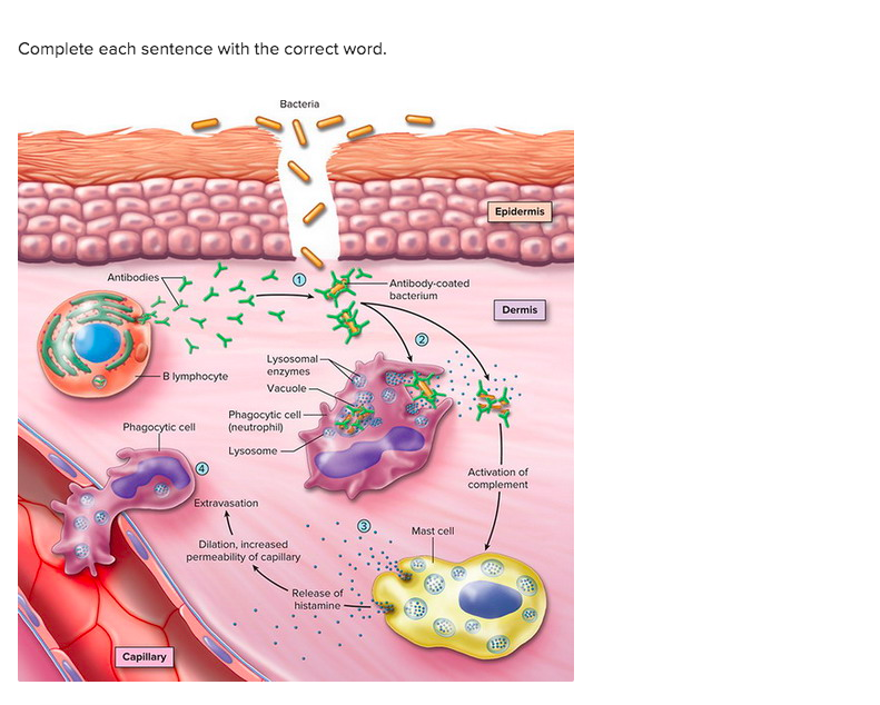 Complete each sentence with the correct word. Bacteria Epidermis Antibodies - Antibody.coated bacterium Dermis SM B lymphocyt